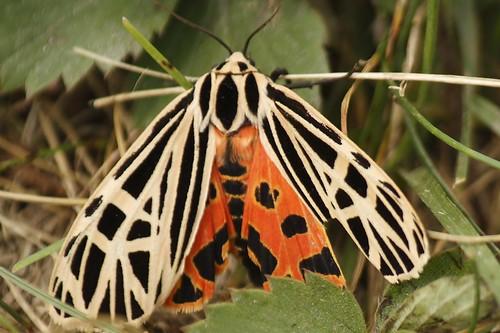 Harnessed Tiger Moth  (13)