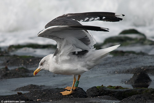 Lesser Black-backed Gull, adult, G[Y.AHJ]