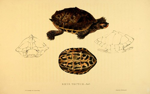 016-Emys Tectum Bell-Tortoises terrapins and turtles..1872-James Sowerby