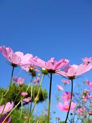 against blue sky (Sasakei) Tags: sky nature japan sapporo hokkaido cosmos 秋桜