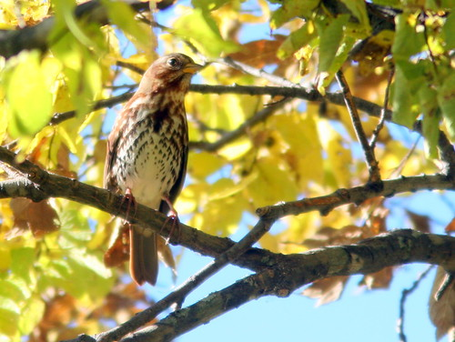 Fox Sparrow 2-20101007