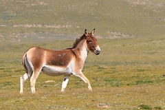 The Tibetan  Khyang or Gorkhar is the largest of the wild asses. (reurinkjan) Tags: donkey equuskiang tibetanwildass  janreurink amdo tibetanplateaubtogang matocounty tibetanwildlive tibet wildernessanimalsgnpridak naturerangbyung tibetanecologyfoundationbodyulskyekhamsthebsrtsatshogspa ngoringtso 2010 kiangisthelargestofthewildasses khyangrkyang mammalogsoisrogchags subspeciesrigspharma sexualdimorphismrigsgcigphomoidbyeba animalsemscan animalsoftibet