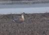 Swan Goose (blueeyes_inoki) Tags: japan endangered rare kyushu ansercygnoides arasaki january2009