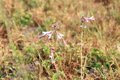 Ocimum dhofarense - Dhofari Basil - الريحان الظفاري