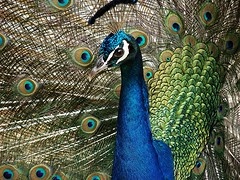 Peacock on Maui (thinduck42) Tags: bird nature hawaii wildlife gardenofeden peacock maui sonydsch2