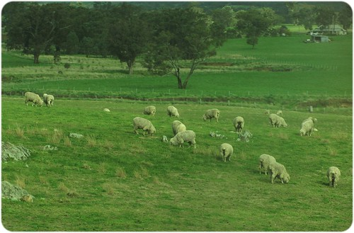 1009_sheepgrazing