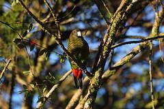 Brehm's Tiger-parrot (Calidris!) Tags: bird birds parrot png papuanewguinea parrots newguinea mthagen mounthagen kumullodge brehmstigerparrot psittacellabrehmii tigerparrot