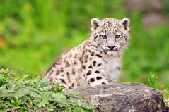[フリー画像] 動物, 哺乳類, ネコ科, 豹・ヒョウ, 雪豹・ユキヒョウ, 201010131100