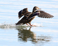 Duck, Mallard IMG_7112 (mbowen1) Tags: andromeda50
