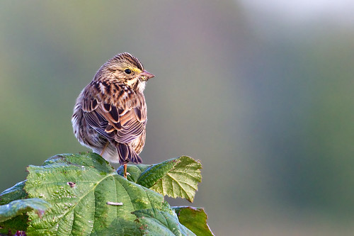Sparrow on Berry Leaf