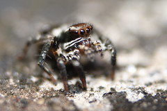 Jumping spider : A macro attempt (AgniMax) Tags: macro nature insect bokeh spiders micro jumpingspider animalia arthropoda arachnida araneae salticid extrememacro salticidae entelegynae salticoidea classarachnidaspidersscorpionsmitesandticks phidippusmystaceus