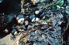 turban snails