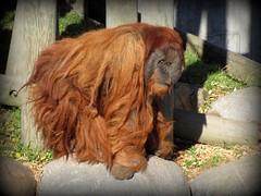 orangutan (wee3beasties) Tags: minnesota zoo orangutan comoparkzoo 15challenges 15challengeswinner thechallengegame challengegamewinner