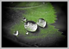 betrpfelt (sulamith.sallmann) Tags: plants plant macro berlin green wet water deutschland leaf waterdrop wasser pflanze pflanzen drop grn waterdrops makro blatt bltter deu nahaufnahme wassertropfen tropfen nass berlinmitte feucht beginnerdigitalphotographychallengewinner