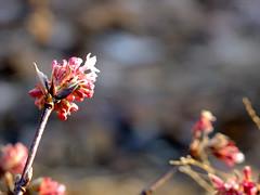 First signs of spring? (FeeMail) Tags: park flowers winter plants germany deutschland spring walk pflanzen sunny blumen sonnig dortmund frhling spaziergang blten westfalenpark