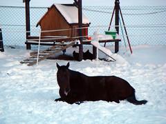 Snoopy geniet den Schnee (Dorothee Rie) Tags: schnee horse snow lie rest lying pferd liegend liegt