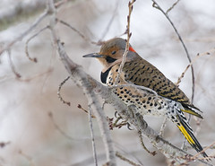 Flicker a woodpecker (snooker2009) Tags: bird nature woodpecker wildlife flicker