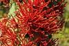 Quintral del Quisco (Carlos Ivovic O.) Tags: florachilena floranativa quintral plantasparásitas parquenaturalaguasderamón loranthanaceae