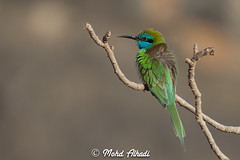 Little Green Bee-eater (Photographer Mohd Alhadi BaOmar) Tags: sunset portrait green bird animals landscape still little oman beeeater mohd zufar  salalah   dhofar  khareef mirbat        alhadi      mohdalhadibaomar