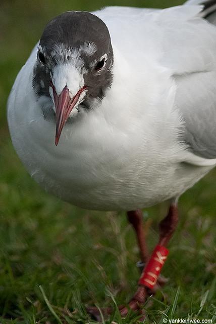 Black-headed Gull, >3cy, R[U.K]