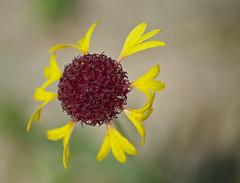 Lanceleaf Blanketflower (Gaillardia aestivalis)