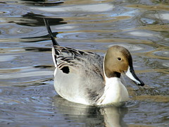 northernpintail1 (Toronto Nature) Tags: toronto highpark ducks