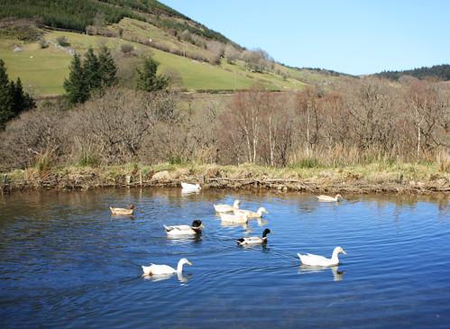 Swimming ducks by Helen in Wales