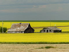 I LOVE Canola (annkelliott) Tags: alberta canada southernalberta nature landscape scenery rural ruralscene field canola yellow golden building barn two old oldbarn homestead architecture wooden weathered partofcprdemonstrationfarm darkeningsky outdoor earlysummer canadaday 1july2017 fz200 fz2004 annkelliott anneelliott ©anneelliott2017 ©allrightsreserved explore interestingness108 explore2017july04