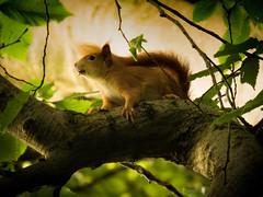 On alert [Explored] (alisonsage1) Tags: redsquirrel animal nature wildlife