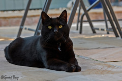 Oliver (parry101) Tags: cat cats pet pets animal animals oliver geraint parry geraintparry nikon nikond500 d500 sigma sigma105mm 105mm macro lens macrolens black
