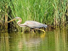 Héron pourpré 05 (jean-daniel david) Tags: héron héronpourpré oiseau oiseaudeau nature roseau reflet lac eau étang réservenaturelle lacdeneuchâtel pêche