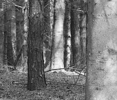 Pine Forest 1 (graemes83) Tags: pentax jupiter 135mm trees pine forest wood black white dailyin