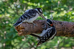It is feeding time in the yard. (ricmcarthur) Tags: morpeth ontario canada ca picoidesvillosus woodpecker hairy rondeauyard ricmcarthur rickmcarthur rondeauric