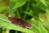 Ringlet ? (david.england18) Tags: ringlet butterfly localpark smallbirds various tits blue great coal queensparkheywood canon7d canonef300mmf4lisusm