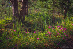 Flowers and trees (Arturs Barzdis) Tags: wood landscape flowers grass green trees nature kemeri national park sunset nikon d800e dreamy latvia latvija singh ray warming cpl sigma 24105mm art