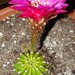 Echinopsis CV 'Grasers Freude'  2 side view