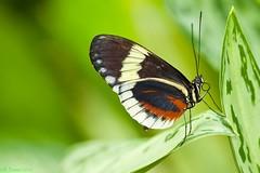 Butterfly #13 in set, Niagara Falls (Roy Prasad) Tags: california travel summer vacation usa ontario canada butterfly niagarafalls nikon niagara tropical smrgsbord smorgasbord coth consevatory d700 royprasad