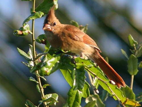 Immature Northern Cardinal 20100729