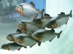 aufgehngte Fischprparationen (roba66) Tags: fish animal animals zoo tiere stuttgart tierpark tier wilhelma fische botgarten beispielegags roba66 bawrtt zoolgarten