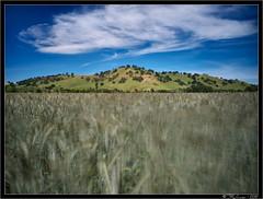 Windy Day Wheat (Tony Immoos) Tags: california longexposure sky motion sunshine clouds landscape movement oak wind wheat vacaville landmark olympus hills e3 daytrip cokin californialandscape solanocounty zd nd8 1260mm olympuse3