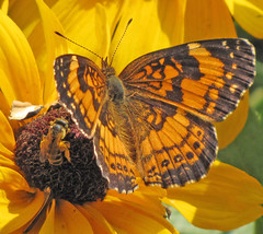Sharing a drink (MistyLyn) Tags: potofgold washingtoncounty silverycheckerspot butterflybutterflies southwesternpa