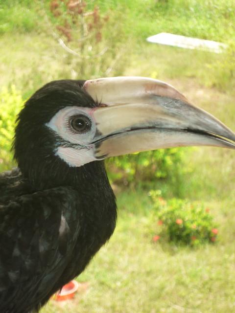 Hornbill named Ki Ki