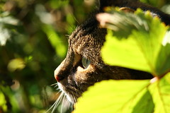 Call of the wild!! Ha Ha! (WaterBugsPics) Tags: portrait cat challengegroupgame challengegamewinner thechallengefactorywinner herowinner pregamewinner