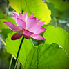 L O T U S (-clicking-) Tags: lighting flowers light nature floral beautiful closeup dof natural lotus blossom bloom flowering lotuspond hoasen colorphotoaward wonderfulworldofflowers 100commentgroup theperfectpinkdiamond ufbestof2010