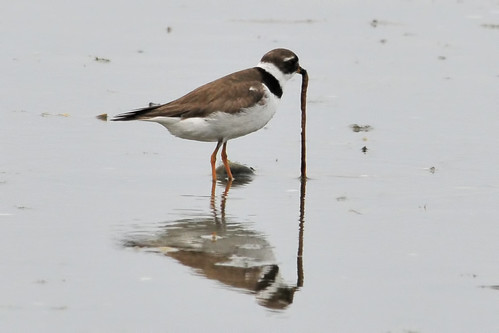 plover gets the worm 4