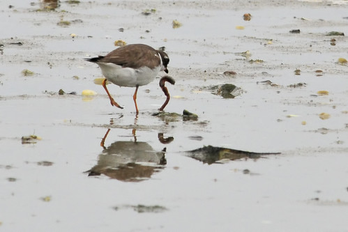 plover gets the worm