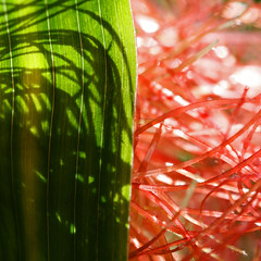 Shadow Puppetry (1crzqbn~away) Tags: red sunlight abstract color macro green hoja reflections dewdrops leaf corn shadows bokeh silk maz project365 shadowpuppetry artdigital awardtree daarklands trolledproud exoticimage shuttersisters365 fadedblurred3652010 1crzqbn