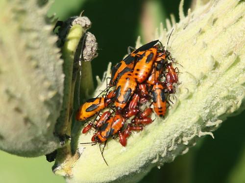 Milkweed Bugs 20100904
