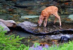 Bambi on the Paradise River (Deby Dixon) Tags: morning cute tourism nature water river photography washington nikon paradise wildlife deer fawn cascades wildflowers bambi deby allrightsreserved 2010 mtrainiernationalpark blacktaildeer paradiseriver d700 debydixon geotourism debydixonphotography