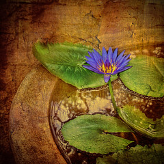 Lotus Flower Picture with Texture
